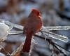 FSC_1531 Northern Cardinal Dec 25 2013