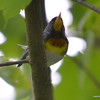 ESC_1531 Northern Parula Warbler June 27 2013