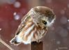 DSC_1531 Saw-whet Owl Mar 21 2014