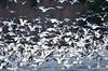 FSC_2298 Snow Geese Oct 31 2014