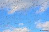 FSC_2346 Snow Geese Oct 31 2014