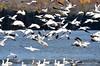 FSC_2296 Snow Geese Oct 31 2014