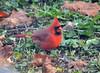 FSC_2414 Northern Cardinal Oct 31 2014