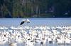 FSC_2278 Snow Geese Oct 31 2014