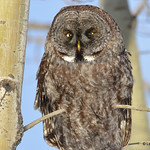 Great Gray Owl DSC_0249 Feb 3 2017