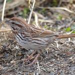 DSC_1129 Song Sparrow Apr 9 2017