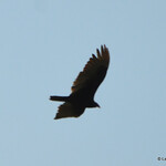 DSC_2336 Turkey Vulture May 23 2017