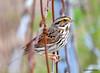 FSC_2900 Savannah Sparrow Oct 5 2015