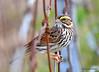 FSC_2902 Savannah Sparrow Oct 5 2015