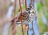 FSC_2903 Savannah Sparrow Oct 5 2015