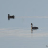 FSC_3021 Red-necked Grebe Common Moorhen Oct 5 2015